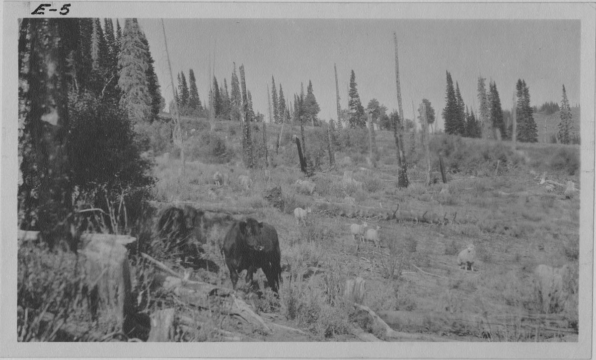 Cattle and sheep grazing together in the Cache National Forest