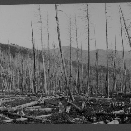Total destruction of forest by fire after cutting, head of Beaver Creek, Southfork, July 10, 1902