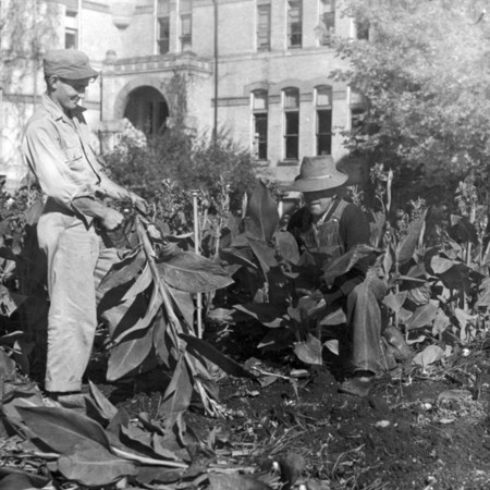 Harvesting a bed of Cannas in front of Old Main, 1950s