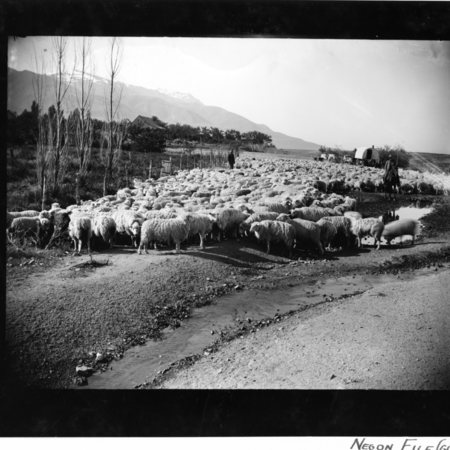 Flock of sheep being trailed with sheep camp and herders in Willard, ca. 1905