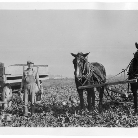 Boy harvesting sugar beets