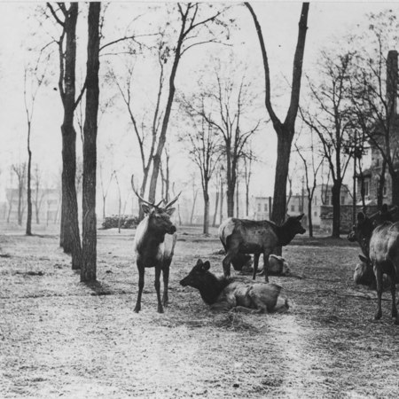 Elk on Tabernacle Square, Logan, Utah, winter of 1915-1916. (2 of 2)
