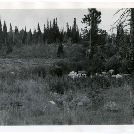 Sheep grazing in Franklin Basin 2 of 7