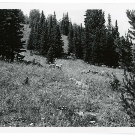 Sheep grazing in spruce and fir environment, Cache National Forest 1 of 2